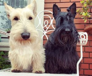 two-scottish-terriers-sitting-together